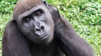 Akimbi, a dear young gorilla